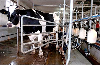 frisona leite